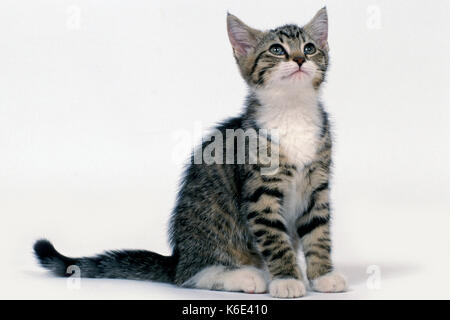 Domestic Cat, Kitten, 14 weeks old, Tabby & White,  sitting, white background, cut out, pet - Stock Photo
