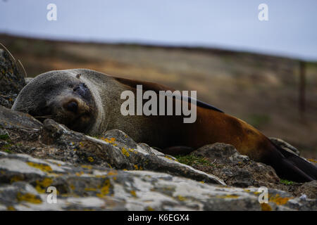 Sleepy seal at Katiki point in New Zealand - Stock Photo