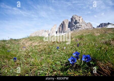 Gentian in bloom, Sassolungo, Val Gardena, Italy - Stock Photo