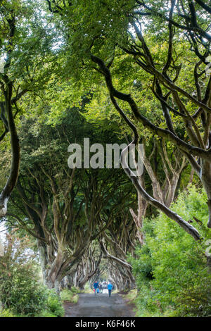 The Dark Hedges on Bregagh Rd, Ballymoney, Antrim, Northern Ireland, an avenue of two hundred year old beech trees - Stock Photo