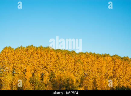 Tree tops in Autumn against blue sky. - Stock Photo