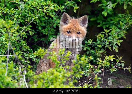 Cute young red fox (Vulpes vulpes) kit emerging from thicket in spring - Stock Photo