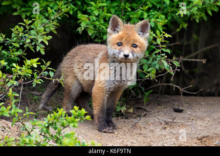 Young cute red fox (Vulpes vulpes), single kit emerging from thicket in spring - Stock Photo