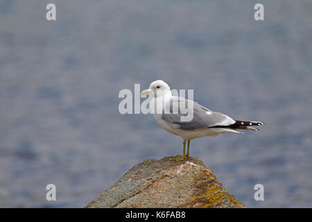 Common gull (Larus canus) in breeding plumage perched on rock on beach in spring - Stock Photo
