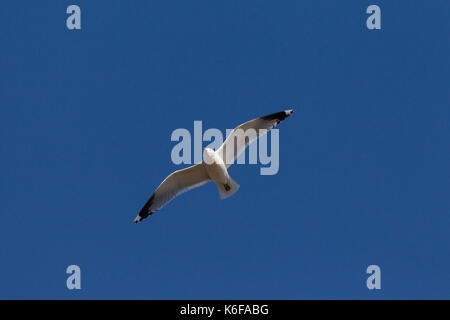 Common gull (Larus canus) in flight against blue sky - Stock Photo