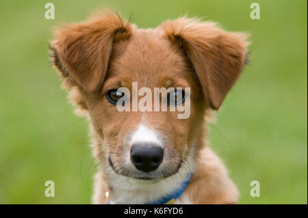 Collie Crossbred Dog Puppy, UK, tan colour, face, portrait, cute - Stock Photo