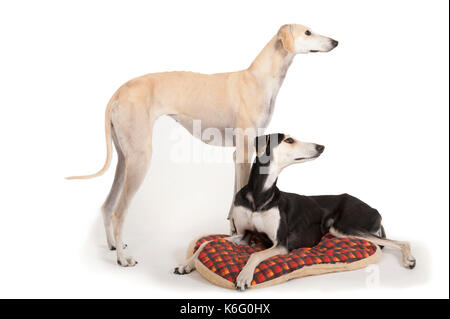 Sloughi Breed Dogs, Pair together, in studio, shot to white background - Stock Photo
