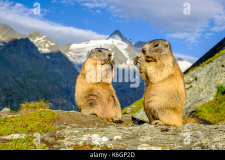 Two Alpine marmots (Marmota marmota) are standing and eating a carrot on a rock, the mountain Grossglockner in the - Stock Photo