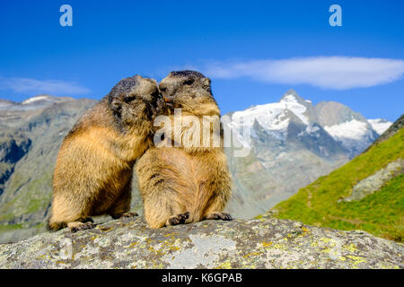 Two Alpine marmots (Marmota marmota) are standing on a rock, the mountain Grossglockner in the distance, at Kaiser - Stock Photo