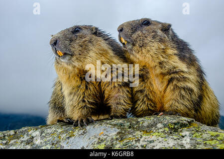 Two Alpine marmots (Marmota marmota) are standing on a rock at Kaiser-Franz-Josefs-Höhe - Stock Photo