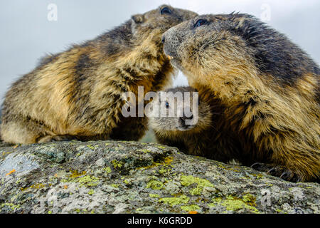 Three Alpine marmots (Marmota marmota), two adult and a baby  are standing on a rock at Kaiser-Franz-Josefs-Höhe - Stock Photo