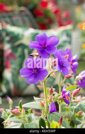 Tibouchina urvilleana. Glory bush flower - Stock Photo