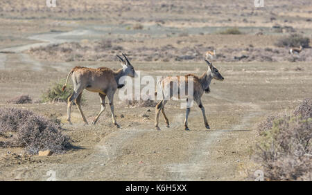 A pair of juvenile Eland in Southern African savanna - Stock Photo