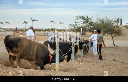 Fujairah, UAE, April 1, 2016: bulls await their turn to fight in traditional bull fighting in Fujairah, UAE - Stock Photo