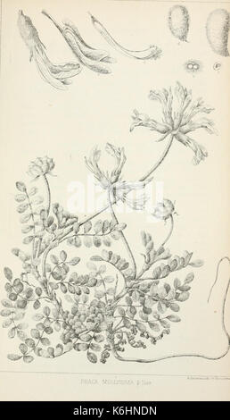 Botanic contributions relating to the flora of western North America BHL5267102 - Stock Photo