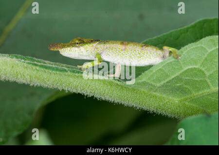 Blue-nosed chameleon, Calumma boettgeri, Amber Mountain National Park, Madagascar - Stock Photo