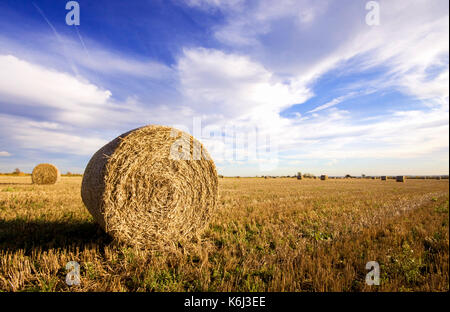 Fresh large round hay bales rolled up in a farmers field ready for winter feed. The field is freshly cut and shot - Stock Photo