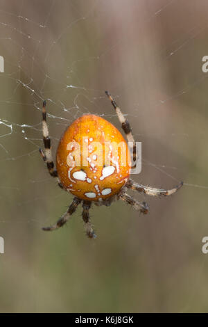 Close-up of female four-spotted orbweaver spider on a web in heathland in Hampshire, UK - Stock Photo
