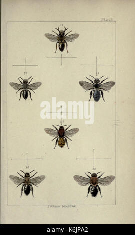 British bees  an introduction to the study of the natural history and economy of the bees indigenous to the British - Stock Photo