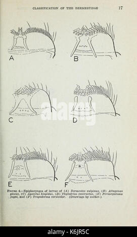 Classification of the Dermestidae (larder, hide, and carpet beetles) based on larval characters (Page 17) BHL42612855 - Stock Photo