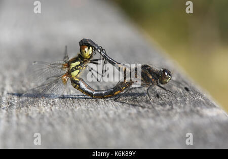 A mating pair of stunning Black Darter Dragonfly (Sympetrum danae). - Stock Photo