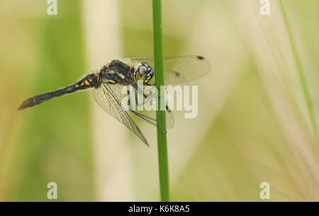 A stunning male Black Darter Dragonfly (Sympetrum danae) perched on a reed. - Stock Photo