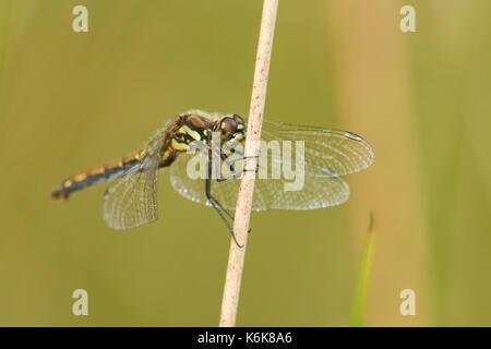 A stunning female Black Darter Dragonfly (Sympetrum danae) perched on a reed. - Stock Photo