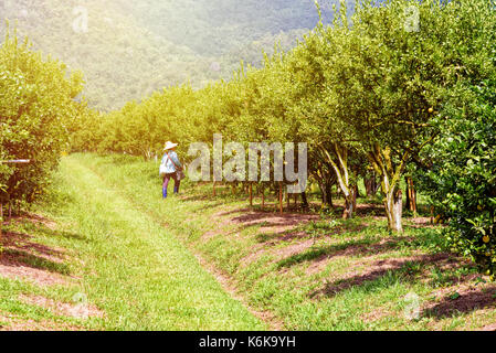 Farmer on the walkway in the farm and orange fruit on the tree with green leaves at the citrus orchard under the - Stock Photo