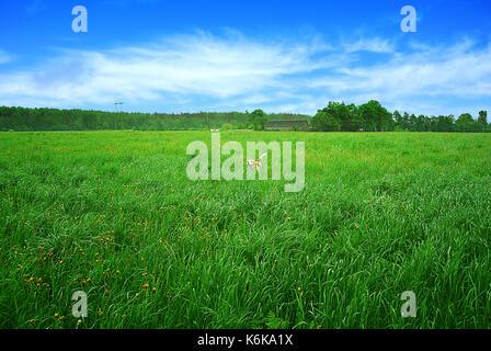 Beagle dog running through a meadow - Stock Photo