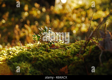 Blueberry bush in a fairy forest - Stock Photo