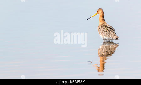 black-tailed godwit standing in the water with reflection - Stock Photo