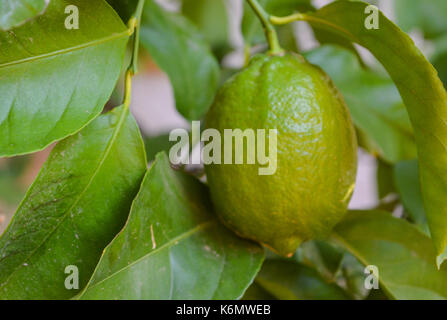 Lemons about to ripen on the tree in Arizona - Stock Photo