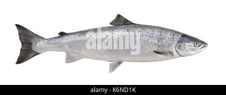 Atlantic Salmon - Salmo salar - Stock Photo