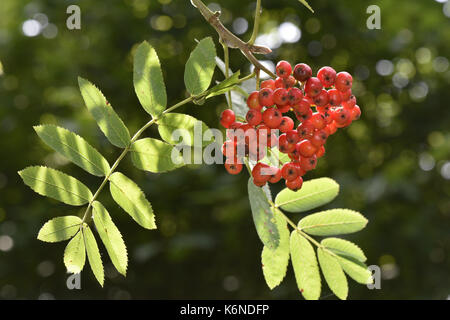 Rowan - Sorbus aucuparia - Stock Photo