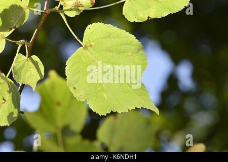 Small-leaved Lime - Tilia cordata - Stock Photo