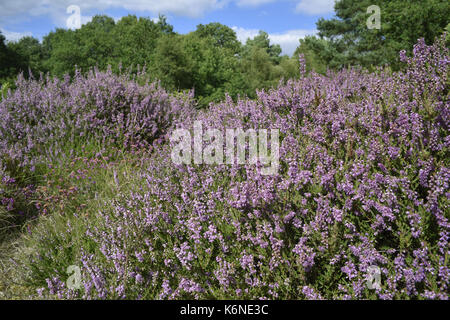 Heather - Calluna vulgaris - Stock Photo