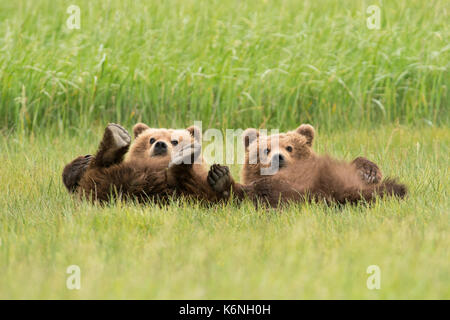 Yearling cubs reclining - Stock Photo