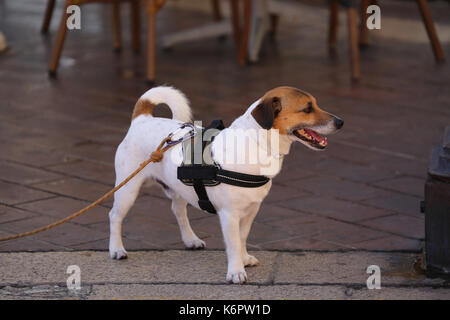 Jack Russell Terrier Wearing Harness in Nice, France - Stock Photo