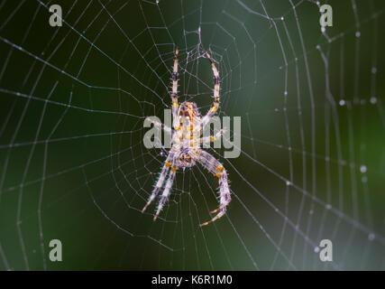 Orb Weaver spider (Araneus Diadematus, European Garden Spider, Diadem Spider, Cross Spider) on a web in Autumn in - Stock Photo