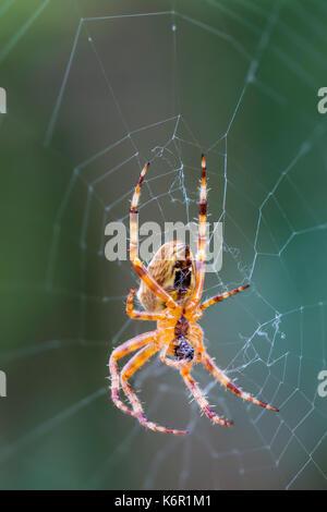 European Garden Spider (Araneus Diadematus, Diadem Spider, Cross Spider), an Orb Weaver spider on a web in Autumn - Stock Photo