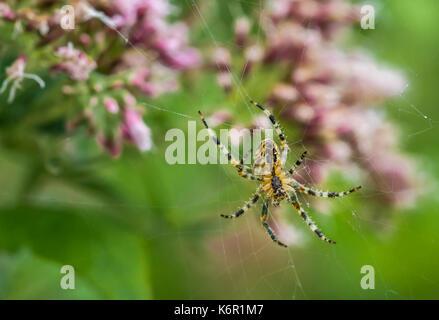 Male Garden Spider (Orb Weaver spider, Araneus Diadematus, Diadem Spider) on a web in Autumn in the UK. - Stock Photo