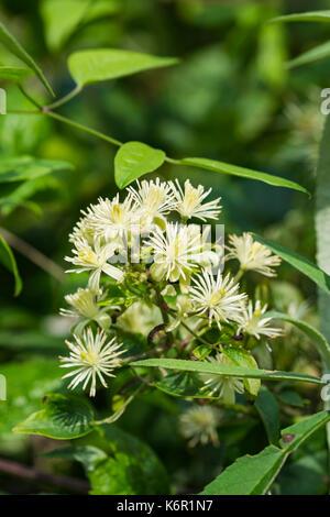 Clematis vitalba (Traveller's Joy, Old Man's beard) shrub in woodland near water in early Autumn in West Sussex, - Stock Photo