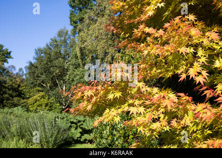 Egham, UK. 13th Sep, 2017. The leaves of an Acer Palmatum 'Sango Kaku' turning red in early autumn at the Savill - Stock Photo