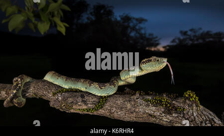 Malabar pit viper photographed at Amboli, Maharashtra during late evening hours on a monsoon evening. - Stock Photo