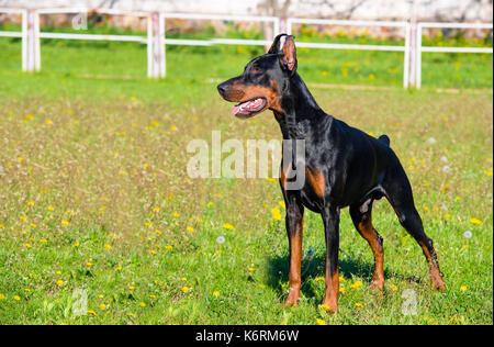 Doberman Pinscher waits.  The Doberman Pinscher stands on the green grass. - Stock Photo