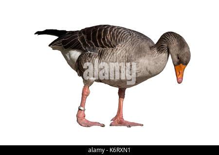 Anser anser - gray goose isolated on white background - Stock Photo