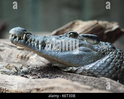 A close up of a philippine crocodile. - Stock Photo