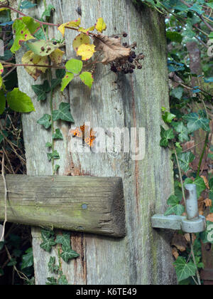 Comma Butterfly Polygonia c-album settled on gate post Norfolk - Stock Photo