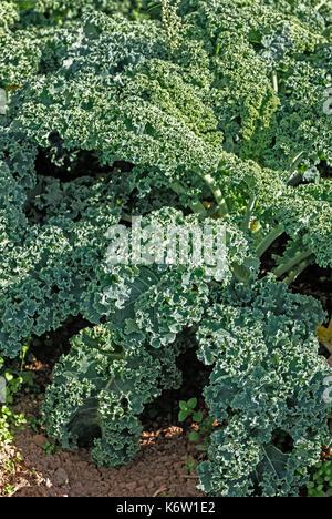 Curly kale (Brassica oleracea) plants in field - Stock Photo