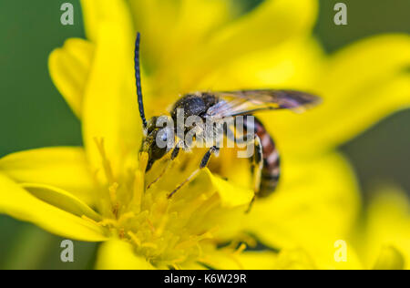 Sweat bee, Lasioglossum species, possibly Lasioglossum calceatum (Common Furrow-bee) in early Autumn in West Sussex, - Stock Photo